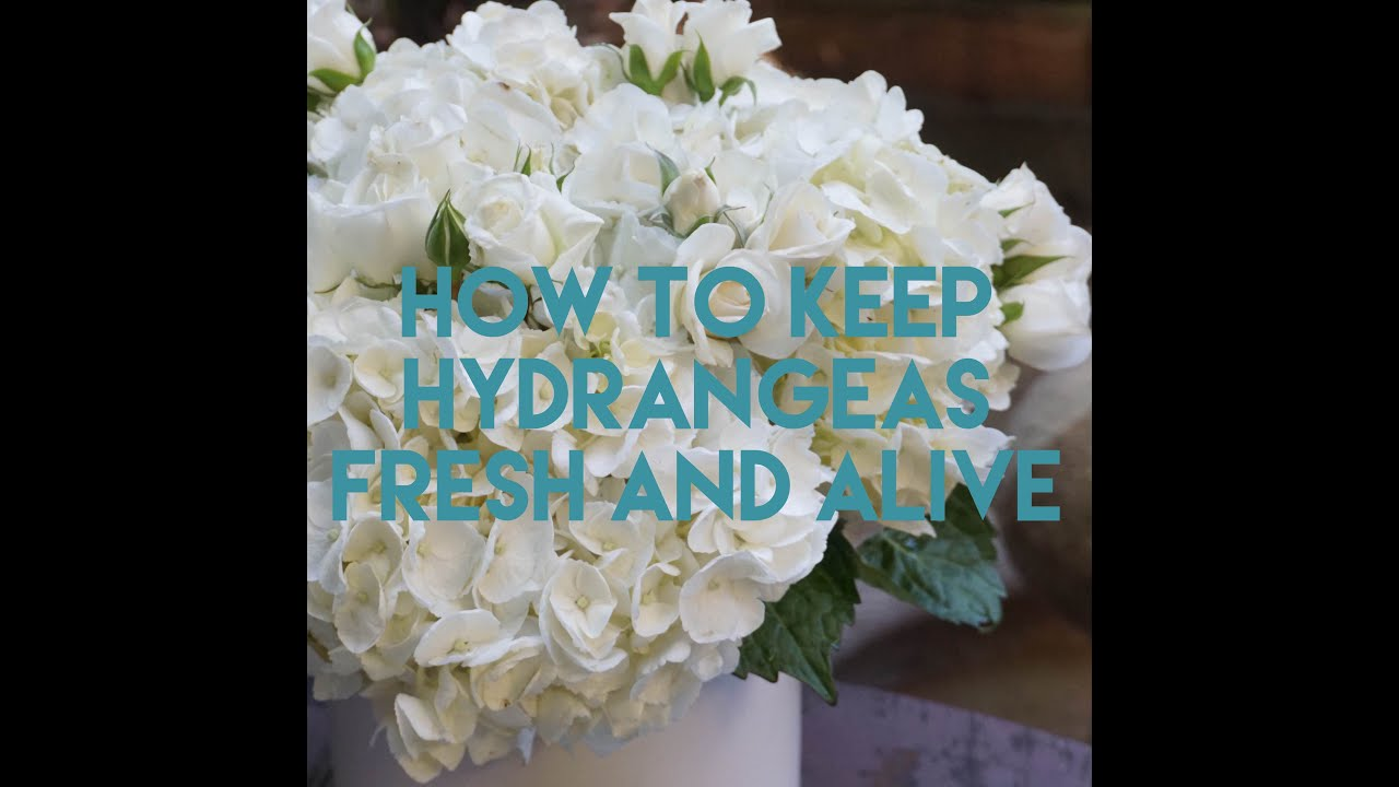 How to Keep Hydrangeas Alive