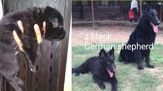 Z black German sherphd  only female available  #petsvilla 9657686566