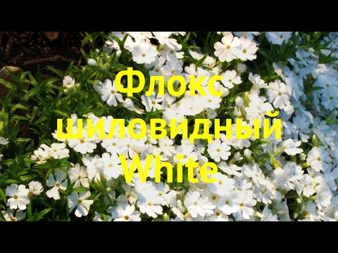 Флокс шиловидный Белый. Краткий обзор, описание характеристик phlox subulata White