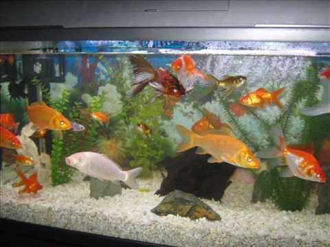 Mis peces consentidos y cosquillosos youtube for Modelos de estanques para peces