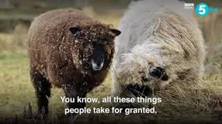 Meet the sheep who thinks he's a dog