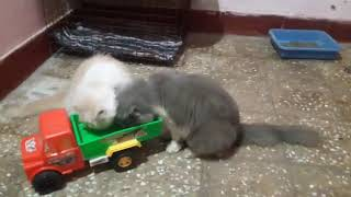 Persian cats for sale bangalore