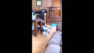 Jack Russell Terrier Chihuahua Playing And Flirting With Yellow Lab Cocker Spaniel Mix