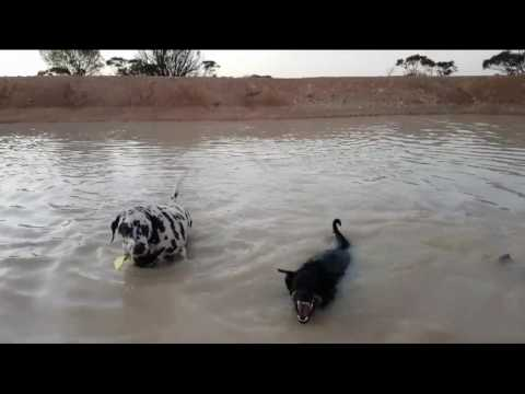 Hot 40 Degree Celcius End of Summer Day Dusk Swim and Dog Play - Kelpie, Dalmation and Terrier X