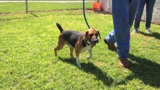 Meet Shiloh, An Adorable, Playful And Mellow, Male Beagle.