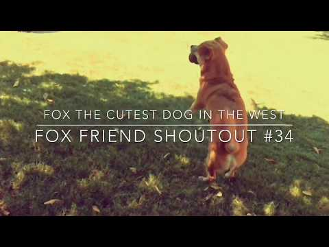 fox-the-cutest-dog-in-the-west-fox-friend-shoutout-#34