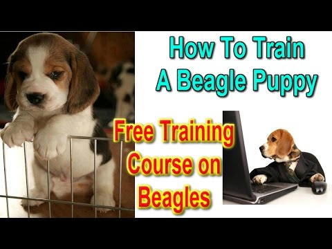 ☼ ☼ How To Train A Beagle Puppy ♥ FREE COURSE ♥ How To Potty Train A Beagle :))))