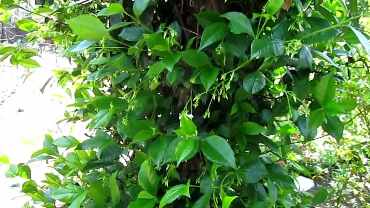 confederate jasmine lisa's landscape