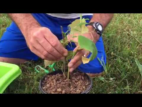 How To Grow Grape Vines Root Cuttings From Existing Plants