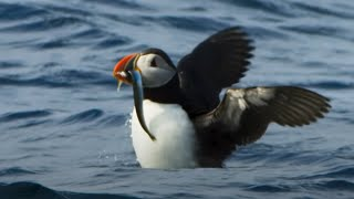 Puffin Hunts Fish To Feed Puffling | Blue Planet II | BBC Earth