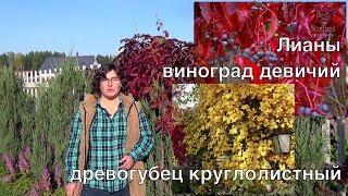 Лианы - виноград девичий и древогубец круглолистный.