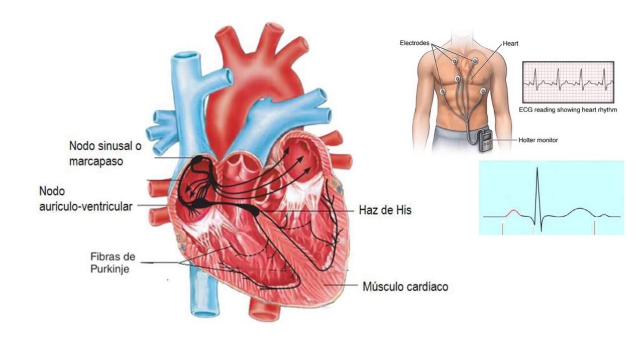 Sistema circulatorio: sangre, corazón y vasos sanguíneos - resumen ...
