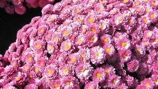Уход за хризантемами осенью и подготовка к зиме + видео