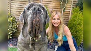 THE NEAPOLITAN MASTIFF  HUGE & DANGEROUS GUARD DOG? Mastino Napoletano
