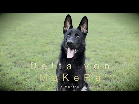 Puppy German Shepherd Delta Von MaKeRa 5 Months IGP/IPO Foundation Dog Training