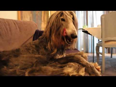 afghan hounds | snapshots from the everyday routine