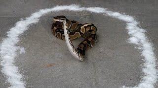 Что Произойдет, Если Поместить Змею в Круг из Соли?