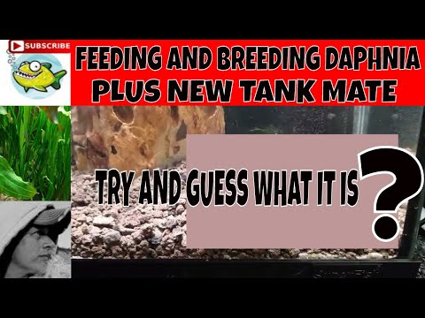 HOW TO BREED DAPHNIA. SUPER EASY.