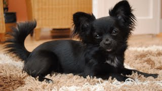 Chihuahua Dogs Breed with Long Coat Amazing Beautiful Dogs