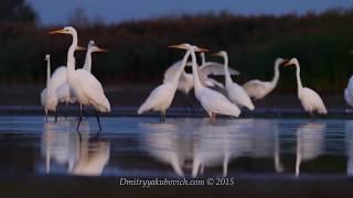 Great Egret / Большая белая цапля
