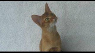 Зверский понедельник. Абиссинская кошка.(Грациозная абиссинская кошка — одна из самых любопытных пород. Все происходящее в доме ее крайне увлекает,..., 2015-12-14T15:30:39.000Z)