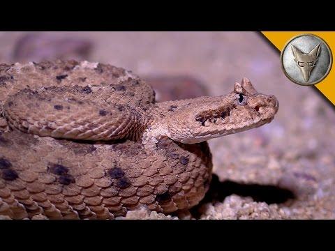Sidewinder Rattlesnake Slithers Across the Desert Sand!