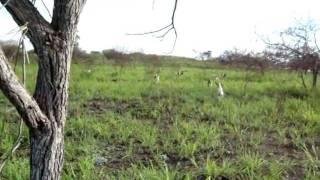 caceria de venado con perros 2011.wmv