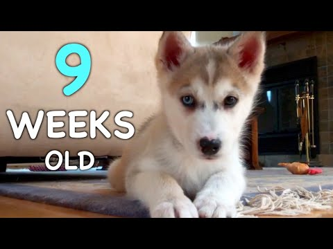 9 Weeks Old Siberian Husky Puppy: Day by Day ❤️