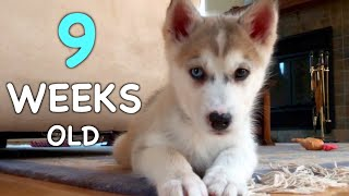 9 Weeks Old Siberian Husky Puppy: Day by Day ❤