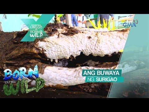 Born to be Wild: Ang buwaya ng Surigao