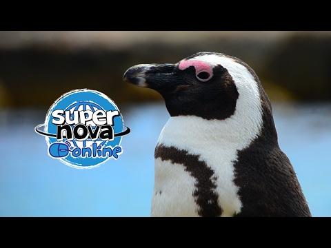 The African Penguin - A Supernova mini documentary