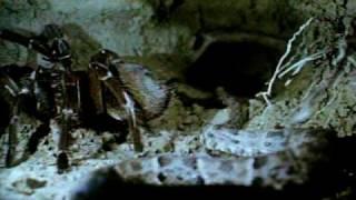 Snake VS Tarantula!