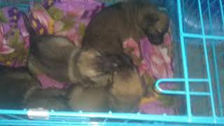 Dogs In India For Sale