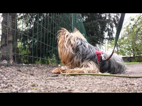 yorkie  botanique Tours Yorkshire terrier