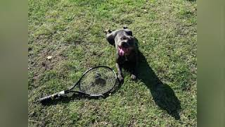 How to exhaust a dog (staffordshire bull terrier ) fastly in 5 minutes