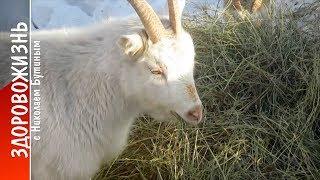 КОЗА №1 – ПОЧЕМУ? Одни плюсы! Сравнение продуктивности, затрат и др. Разведение коз и ЗДОРОВОЖИЗНЬ