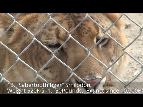 12 Prehistoric Extinct Cats Megafauna Compilation: Sabertooth, Smilodon, Scimitar, Giant Lynx, Lion