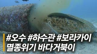 멸종위기종인 푸른바다거북... 오수 뿜어내는 하수관에 …