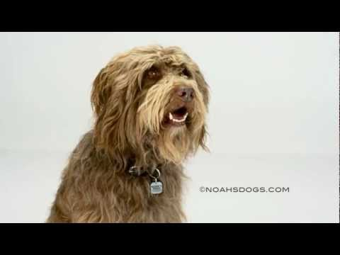 Labradoodle Close Up - Noah's Dogs