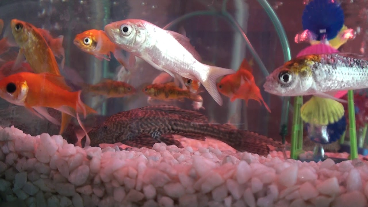 Aquariums Shop In Bd সস ত য ম ছ ও