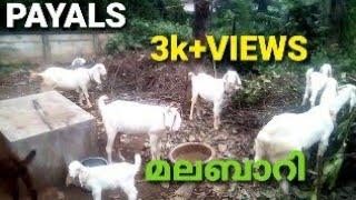 MALABARI GOATS MENACHERY GOATS FARM LALOOR THRISSUR KERALA..9544539090..9388554349