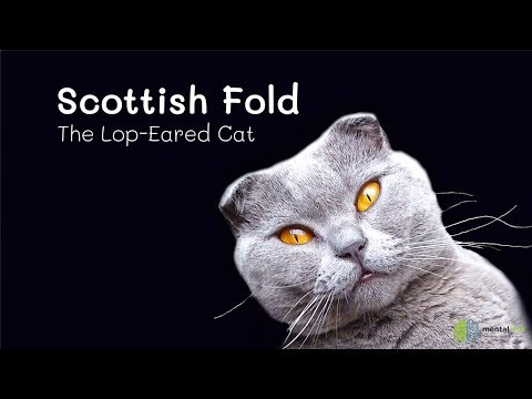Scottish Fold – The Lop Eared Cat