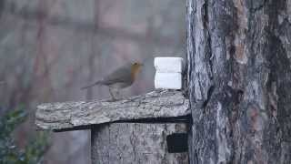 Vörösbegy vaj etetőn / European Robin at butter feeder, Bud…