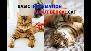 Bengali cat, basic information and what is the Bengal cat