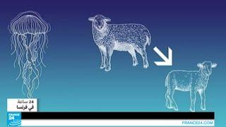 فرنسا - بيع خروف معدل وراثياً مع قنديل بحر!