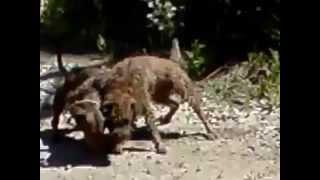 драки собак (слабонервным не смотреть)