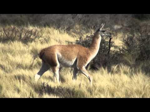 Guanaco (Lama guanicoe) RELINCHO