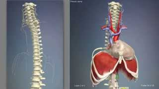 Смотреть видео что делает мышцы диафрагмы