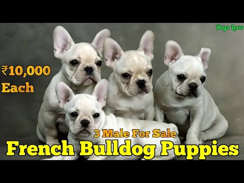 Super Quality French Bulldog Puppies For Sale  ||  Cute Puppies @₹10,000/- Each