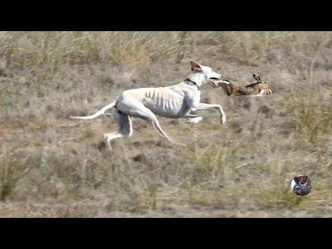 Semana 2 de temporada / Greyhound VS Hare
